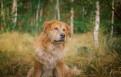 Lucky - złoty pies o złotym sercu szuka domu!
